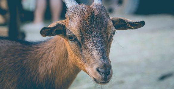 La Chèvre Baillarguoise lance la nouvelle saison des «Apéro'biques»