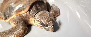 On sauve les tortues marine à La Grande-Motte !
