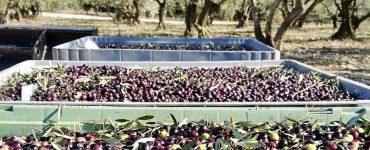 Montpellier : ramène tes olives et repars gratuitement avec ton huile