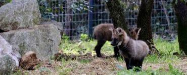 Naissance de deux loups à crinière au Zoo de Montpellier