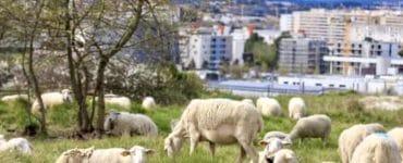 Montpellier : 190 moutons dans les parcs pour de l'éco-pâturage